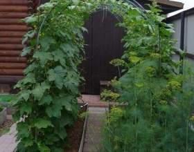 Вирощування огірків на арці фото
