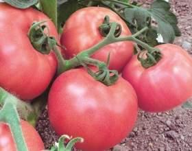 Вирощування томатів у відрах фото