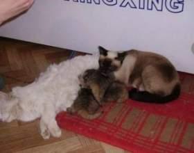 Забайкальські кошенята дуже відрізняються від звичайних фото